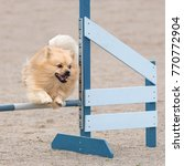 Small photo of Mittelspitz jumps over an agility hurdle in agility competition