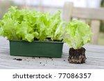 Lettuce Seedlings On A Wooden...