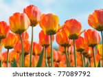 Flowers Tulips Orange Color To...