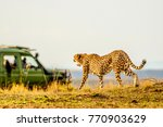 female adult cheetah walking...   Shutterstock . vector #770903629