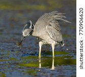 Small photo of Yellow-crowned Night Heron (Nyctanassa violacea) eating a crab in a Florida lagoon - St. Petersburg