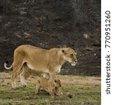 A Lioness And Cubs Along The...