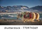 Yak  Namtso Lake In Tibet China
