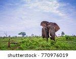 african bush elephant in kruger ... | Shutterstock . vector #770976019