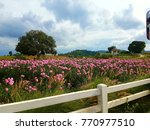 Stock photo pink rose garden and blue sky field of pink rose 770977510