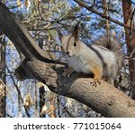 eurasian red squirrel on a pine.... | Shutterstock . vector #771015064
