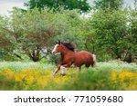 Chestnut Clydesdale Horse Runs...