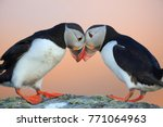 Atlantic puffin or common...