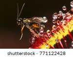 tiny wasp stuck in a...   Shutterstock . vector #771122428