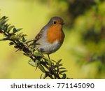 european robin erithacus... | Shutterstock . vector #771145090