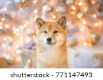 Stock photo siba inu christmas new year portrait 771147493