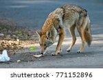 Handsome Urban Coyote - San Francisco