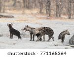 spotted hyena puppies coming... | Shutterstock . vector #771168364