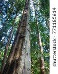 tree amongst trees | Shutterstock . vector #771185614