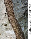 Small photo of The bark of a Alder (Alnus) tree - texture or background