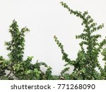 green creeper plant on a white...   Shutterstock . vector #771268090