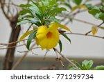 Small photo of allamanda neriifolia flower