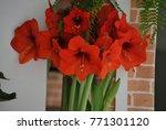 red amaryllis flower | Shutterstock . vector #771301120