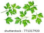 parsley herb. macro shot of... | Shutterstock . vector #771317920