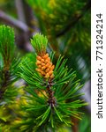 Small photo of Fresh branch of fir tree with fir cones closeup
