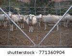 Small photo of Sheep herded and closed in an enclosure on a farm.