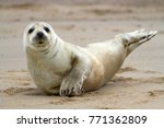 horsey grey seals | Shutterstock . vector #771362809