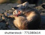 arctic fox  white fox   polar... | Shutterstock . vector #771380614