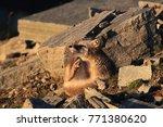 arctic fox  white fox   polar... | Shutterstock . vector #771380620