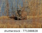 bobcat lynx rufus bosque del...   Shutterstock . vector #771388828