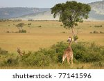 Giraffe Standing In The Bush ...