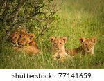 Cute Cubs Lions Resting In The...