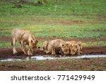 african lion in kruger national ... | Shutterstock . vector #771429949