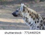 hyena in the zoo | Shutterstock . vector #771440524