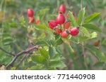 Small photo of wild-rose berries on long foliaceous branch