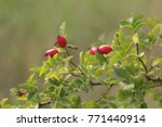 Small photo of wild rose red berries. scenic foliaceous branch