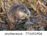 Muskrat eating at Watson Lake, Yukon, Canada