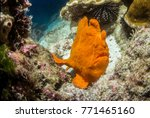 frog fish at isla de coco | Shutterstock . vector #771465160