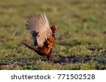 Small photo of Pheasant cock with hen at courtship display, spring, (phasianus colchicus)
