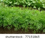 dill growing on the vegetable...   Shutterstock . vector #77151865