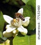 Hard Working Honey Bee On Whit...
