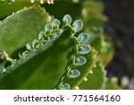 Small photo of Young Bryophyllum plants on leaf