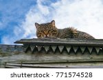 Stock photo beautiful curious scottish wildcat felis silvestris grampia laying on old wooden carved roof 771574528