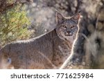 a bobcat gazes back at me from... | Shutterstock . vector #771625984