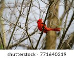 cardinal in early spring | Shutterstock . vector #771640219