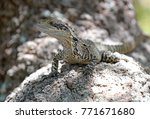 eastern water dragon  native to ... | Shutterstock . vector #771671680