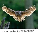 Beautiful Landing Owl In The...