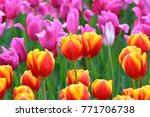 Yellow Red Tulips   Pink Tulip...