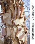 Small photo of Beautiful rugged bark of a river birch tree