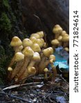 Pholiota Alnicola Mushrooms On...