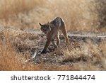 bobcat lynx rufus bosque del...   Shutterstock . vector #771844474